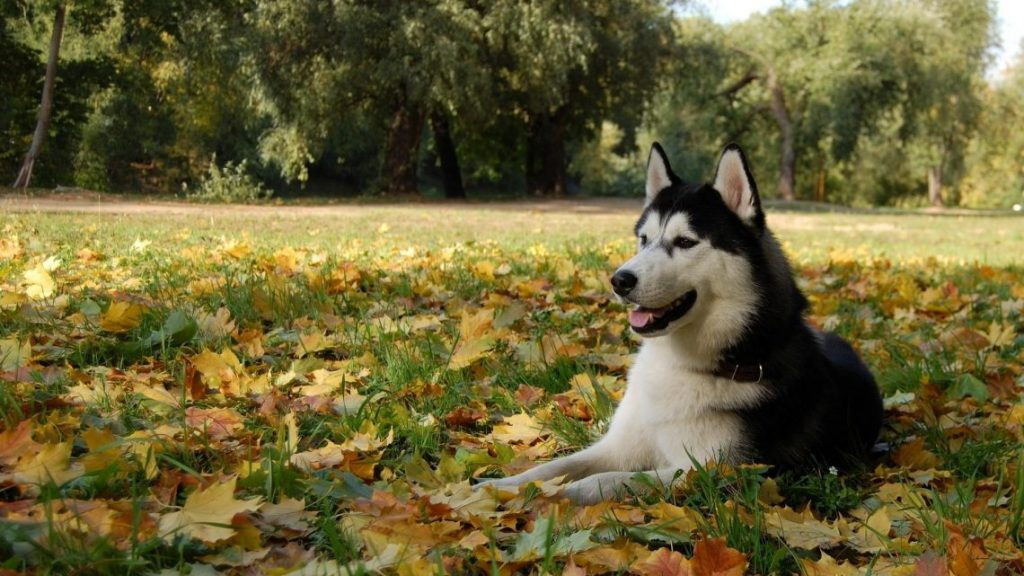 husky-siberiano-wallpapers-hd-fotosdelanaturaleza (10)