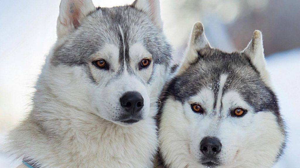 husky-siberiano-wallpapers-hd-fotosdelanaturaleza (11)
