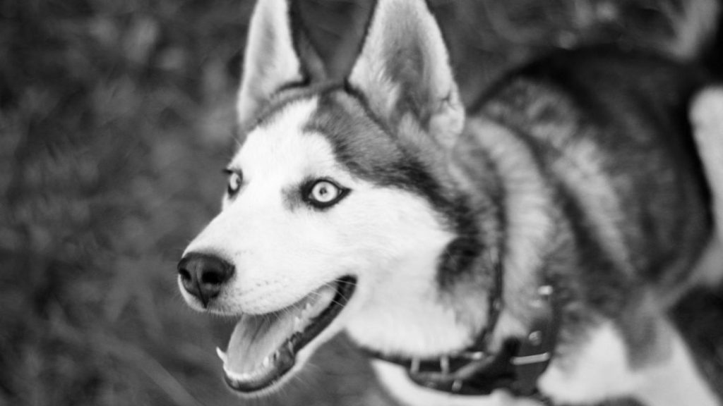 husky-siberiano-wallpapers-hd-fotosdelanaturaleza (12)