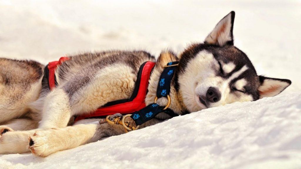 husky-siberiano-wallpapers-hd-fotosdelanaturaleza (17)