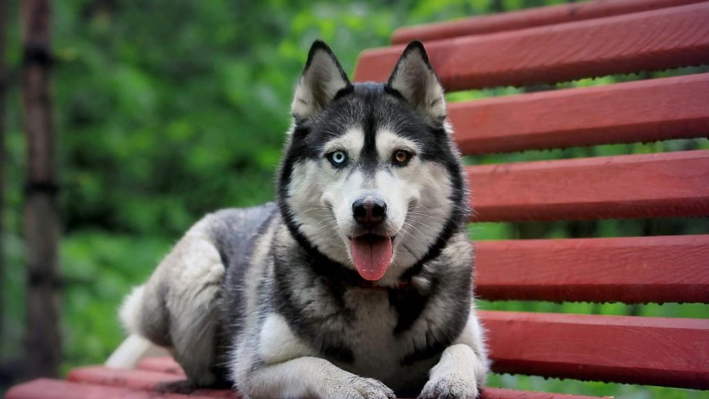 husky-siberiano-wallpapers-hd-fotosdelanaturaleza (2)
