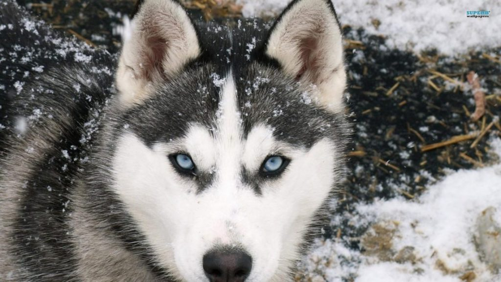 husky-siberiano-wallpapers-hd-fotosdelanaturaleza (8)