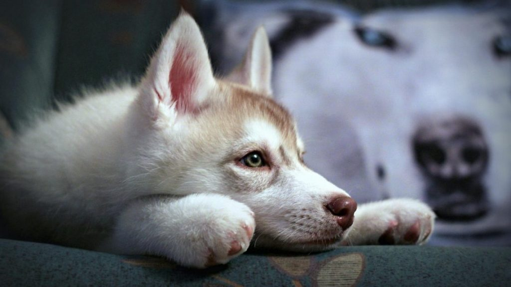 husky-siberiano-wallpapers-hd-fotosdelanaturaleza (9)